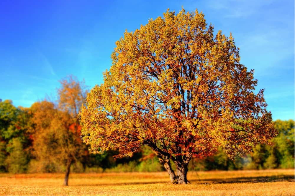 Autumnal-coloured tree in a yellow field