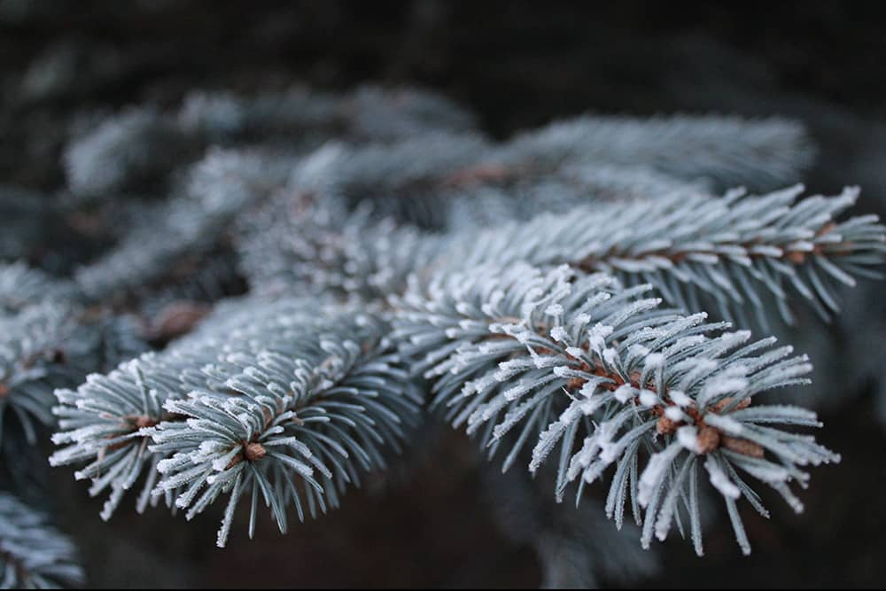 Icy Christmas tree pine