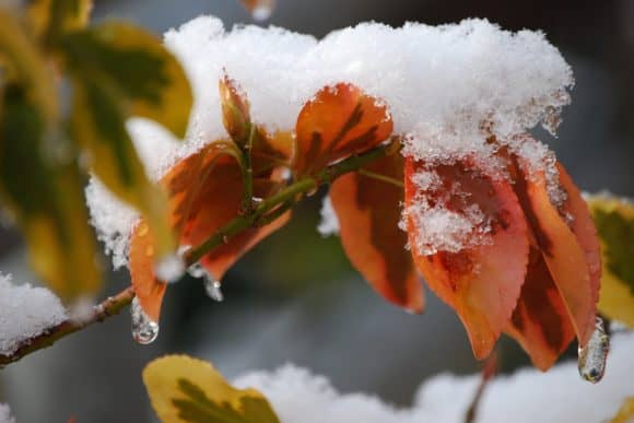Snow begins to melt from the top of a red leaf