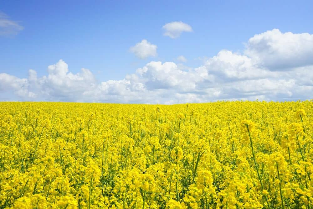 A field of rapeseeds under fluffy clouds and blue skies.
