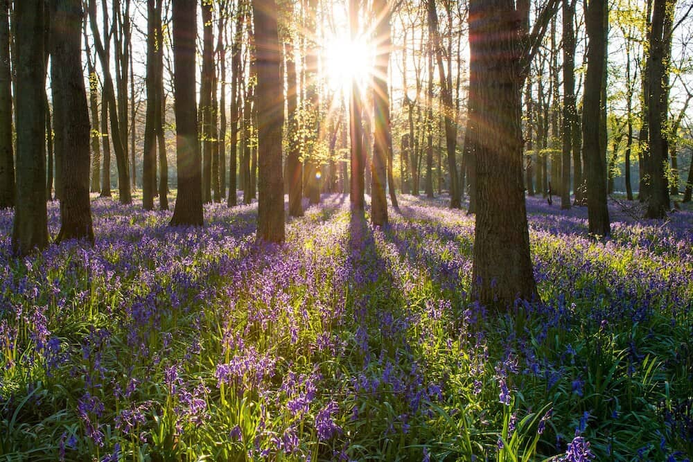A sunset over a woodland scene with a carpet of bluebells.