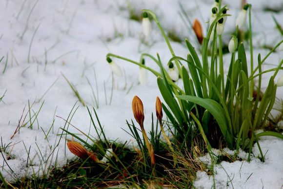 Macro photograph of crocus buds starting to blossom in the snow.