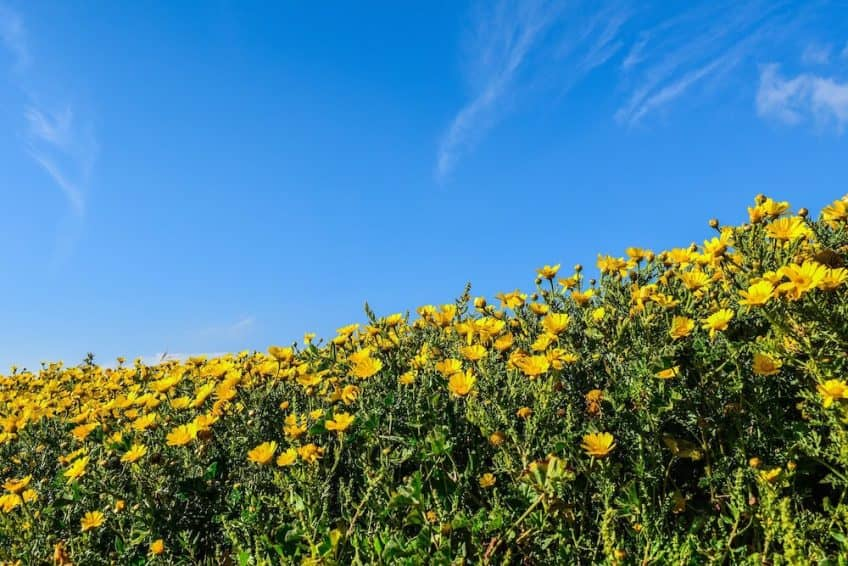 A field of daisies sitting under a clear blue sky.