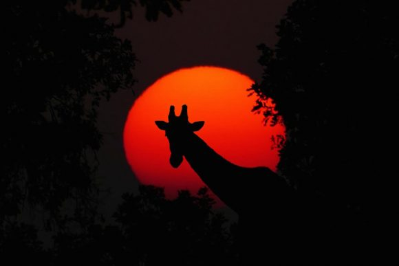 A giraffe silhouetted before the setting sun.