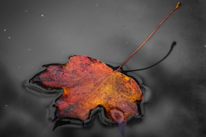 An autumn leaf floating on water.
