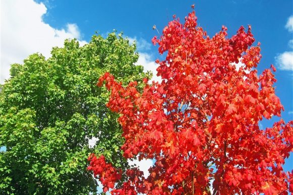 Green and red foliage against a bright blue sky.