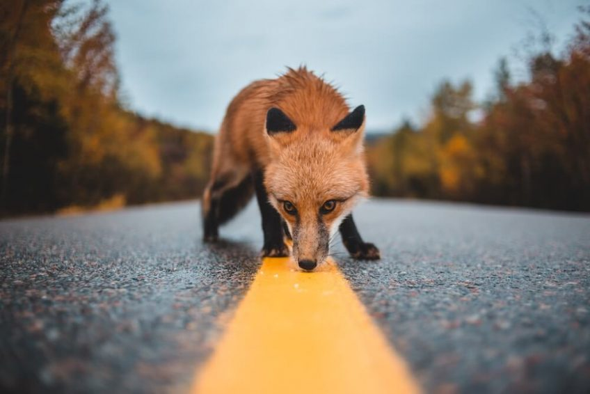 A fox captured exploring a deserted road.