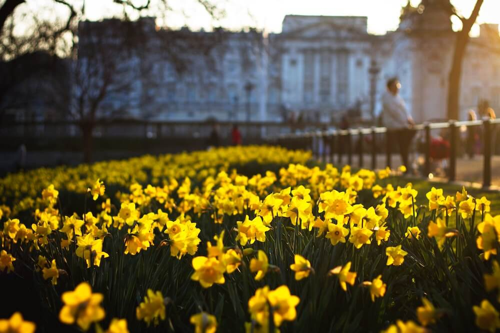 Focused photography on a sunny scene of wild daffodils in the grounds of historical architecture.