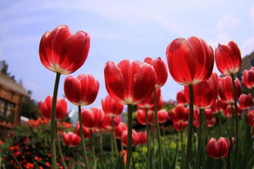 A low-angle photograph of red tulips against a blue, sunny sky.